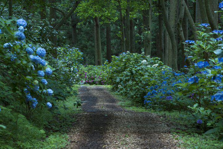 【終了】梅雨の絶景を見逃したあなたに!岩手県の「みちのくあじさい園」開園