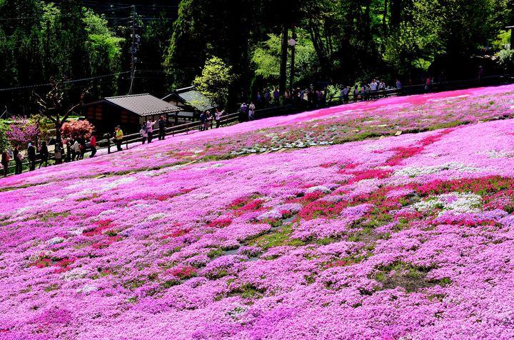 おばあちゃんがコツコツ育んだ絶景!岐阜にある「國田家の芝桜」はみる価値あり