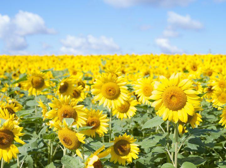 太陽の下で輝く絶景!この夏行きたい関東地方の「ひまわり畑」スポットまとめ