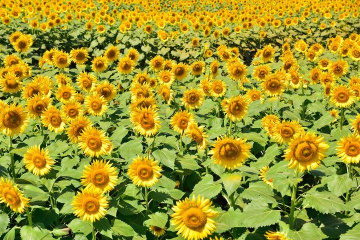 """一面に広がる黄色い絶景!日本全国の""""7月から咲くひまわり畑""""まとめ"""
