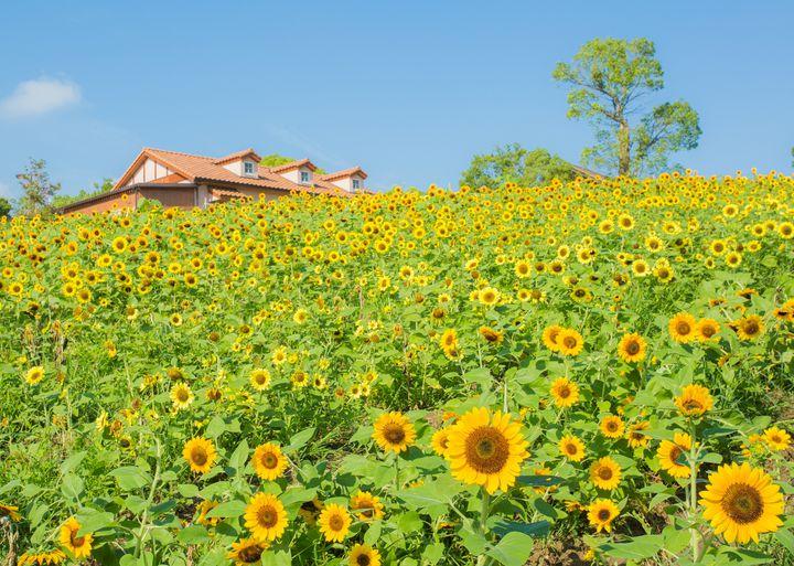 【終了】夏限定の黄色い絶景!大阪で「6万本のひまわりフェスタ」開催