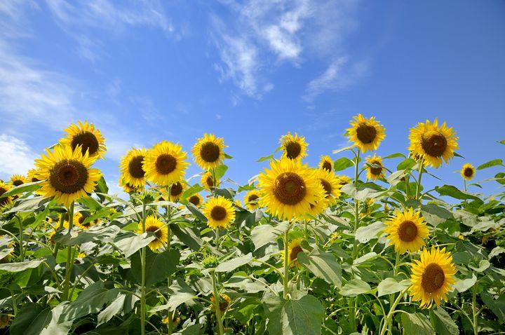 一面に広がるひまわり畑でつかまえて。この夏行きたい関東のひまわり畑8選