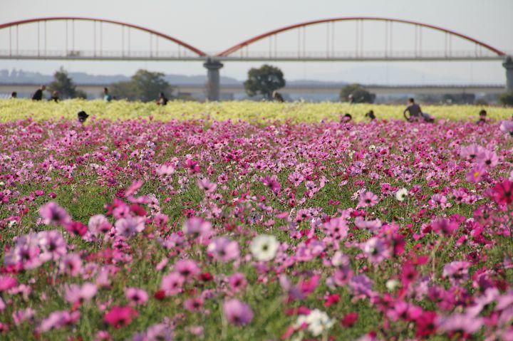 秋の桜「コスモス」で秋を満喫しよう。東京都内近郊の秋桜絶景スポット10選