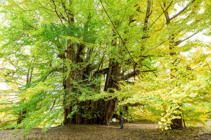 日本一の絶景!この秋は青森県、北金ヶ沢のイチョウを見に行こう。