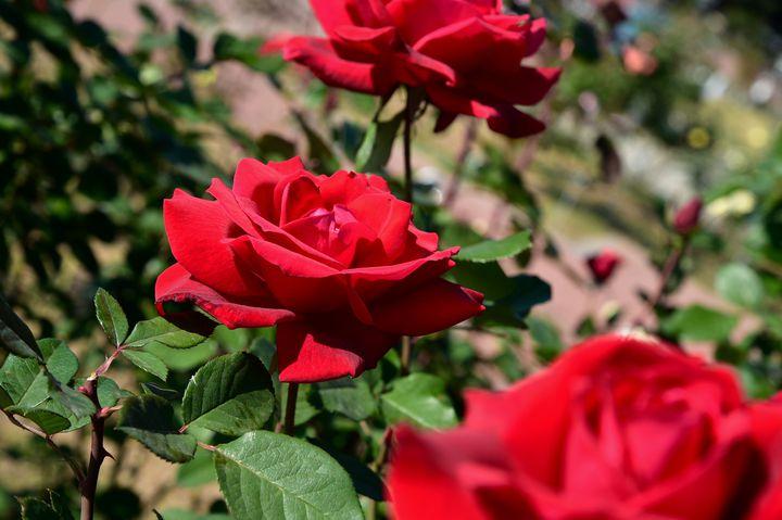 【終了】秋はバラが美しい季節。調布の神代植物公園で「秋のバラフェスタ」開催