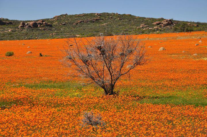 """1年に数週間だけ!南アフリカ・ナマクワランドの""""神々の花園""""が美しすぎる"""