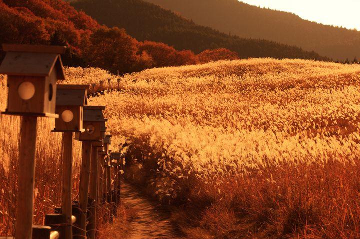 """黄金色に輝く秋の絶景。秋のお出かけで行きたい日本全国の美しい""""すすき草原""""7選"""