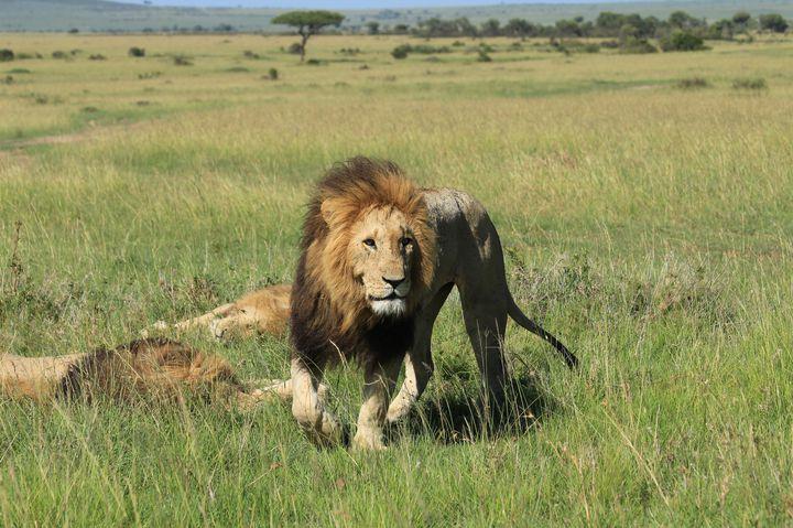 野生のライオンと目が合う!マサイマラ国立保護区で忘れられない体験をしてきた