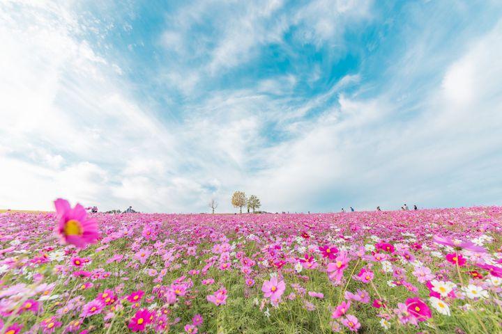 秋の花はコスモスだけじゃない!兵庫県・淡路島「あわじ花さじき」が気になる!