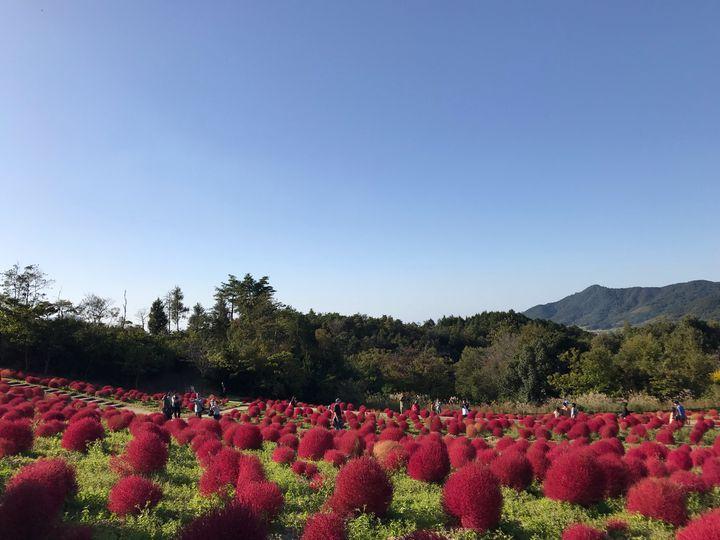 """【開催中】香川の秋、発見。""""国営讃岐まんのう公園""""でコキアを楽しもう。"""