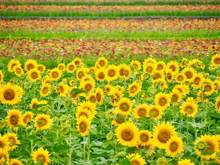 この夏行きたい!心が癒される全国の花畑絶景スポット10選