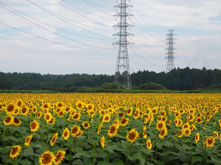 写真フォルダを黄色一色に染めちゃって!8月でも見られる関東近郊のひまわり畑12選