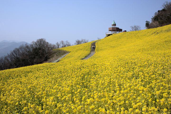 絵本の世界が愛媛にあった!一面の菜の花が広がる「翠波高原」が、美。