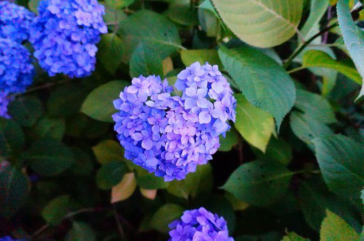【終了】恋が叶うと噂のハート型を見つけたい!「三室戸寺」のあじさい園開園
