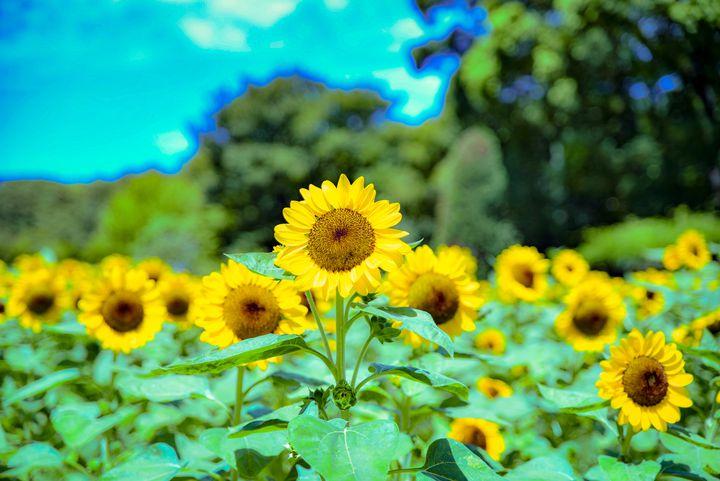 """夏限定の黄色い絶景に魅せられる!関西のおすすめ""""絶景ひまわり畑""""12選"""