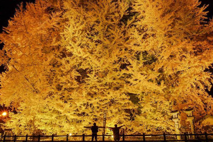 【終了】日本一のイチョウの木が黄金に輝く。「the big yellow」とは?