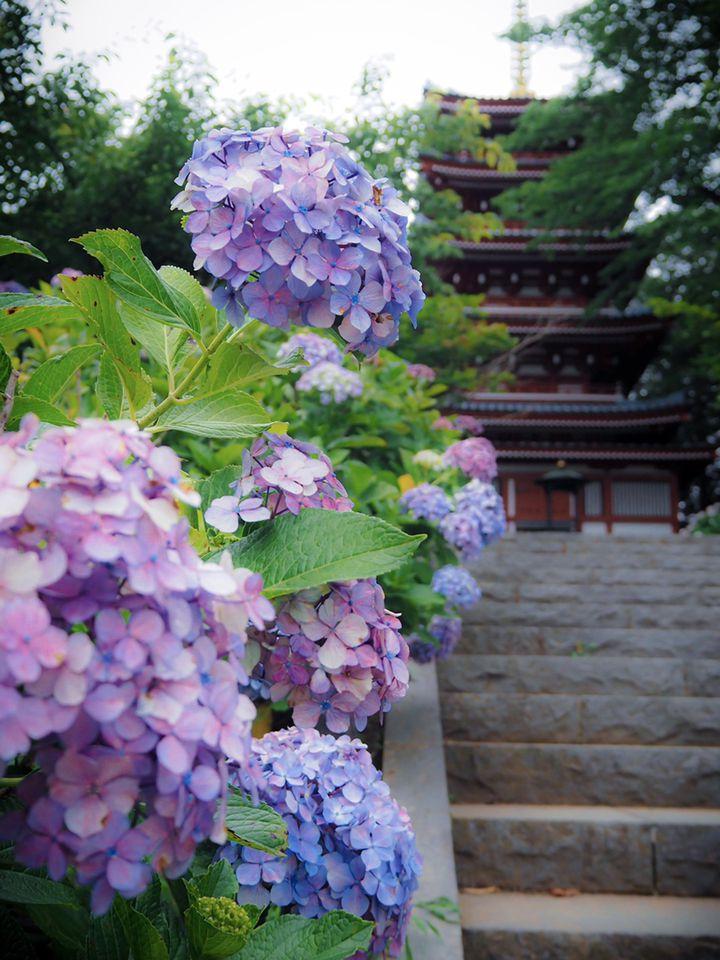 """梅雨の時期も楽しく過ごせる。関東地方の""""紫陽花名所""""15選"""