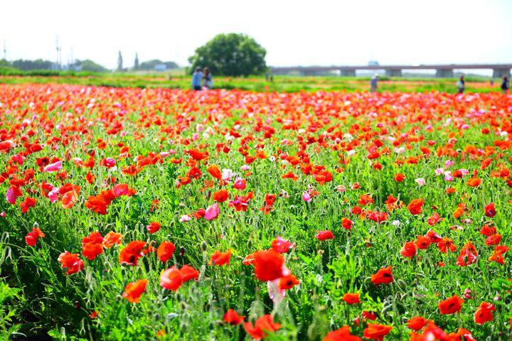 """一面に咲き誇る可愛いポピー!春のおでかけで行きたい""""関東のポピー畑""""8選"""