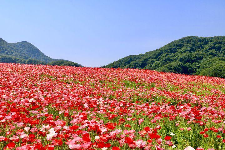 """乙女心くすぐる可愛すぎるお花畑。初夏に行きたい""""関東近郊のポピー畑""""10選"""