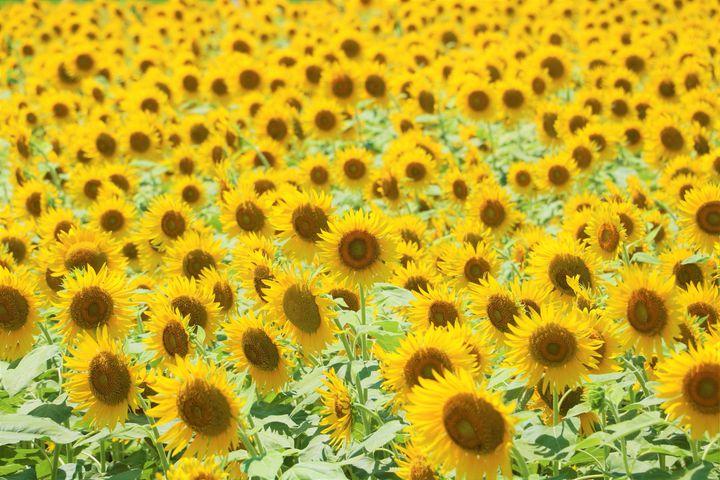 一度はいってみたい!花いっぱいのひまわり畑!東海地方のひまわり畑の名所8選