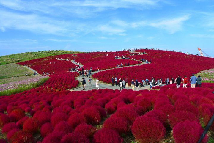 【終了】秋限定の真っ赤なもこもこ絨毯!ひたち海浜公園のコキアが気になる!