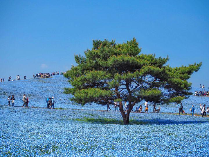 """【開催中】今年の見頃は4月中旬!国営ひたち海浜公園で""""ネモフィラ""""の美しき青の世界へ"""