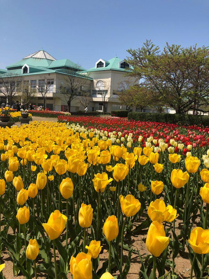 【開催中】春はやっぱりチューリップ!新潟ふるさと村でチューリップが見頃に!