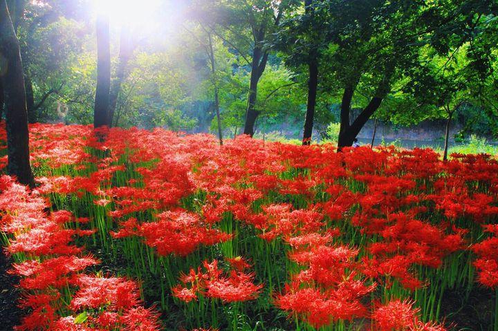 彼岸花から秋をはじめましょう。日本全国の彼岸花が美しいスポット11選