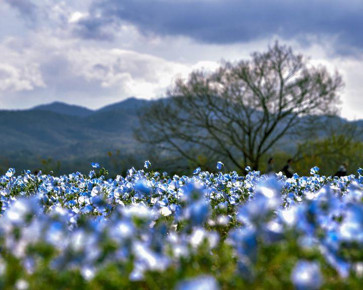 【終了】国内最大規模のお花畑!広島県で「芝桜とネモフィラの丘」が開催