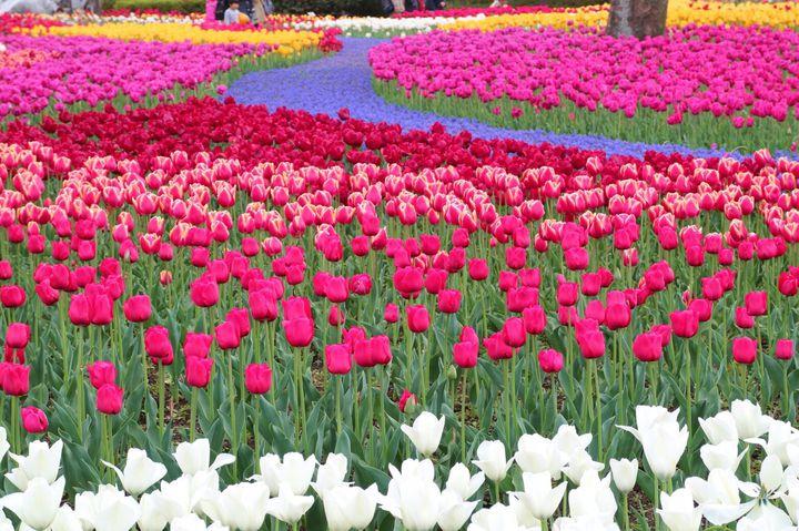 SNS映え間違いなし!この春見たい日本全国の「チューリップの絶景」9選