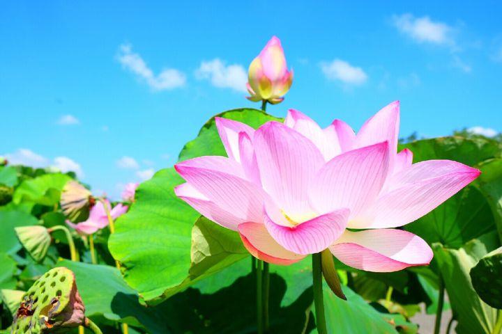 ここが私のお気に入り公園。埼玉「古代蓮の里」で素敵な花々に囲まれるひと時を