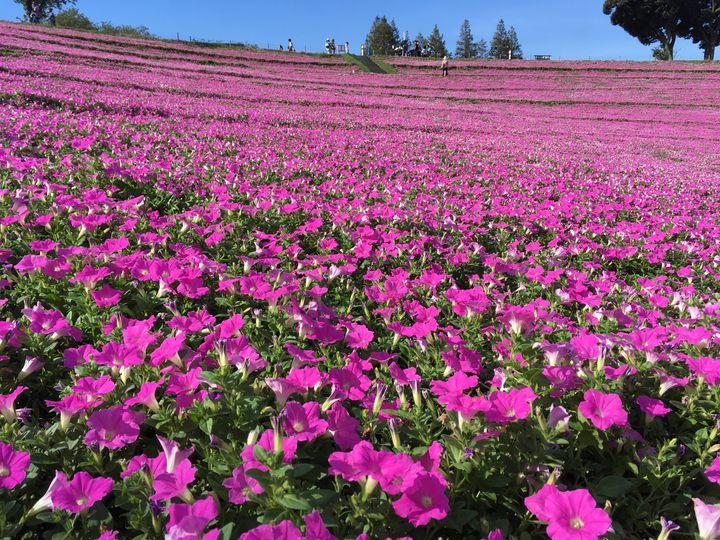 思わず息を飲むピンク色の絶景。マザー牧場で楽しめる『桃色吐息』の花畑とは