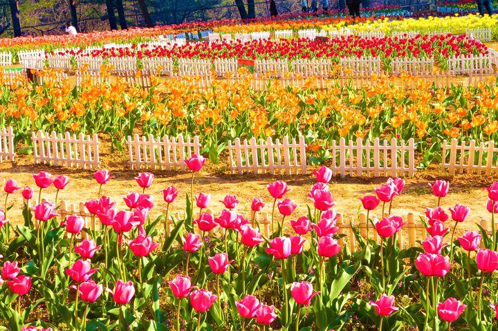 東北の春はこれから!東北地方の旅したくなる「春のお花畑スポット」10選