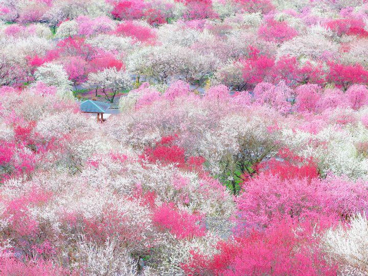 ピンク色に染まる綺麗な景色が広がる。日本全国の美しい「春の絶景」7選