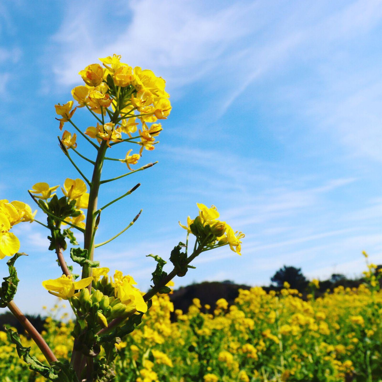 ガーデン 伊良湖 菜の花